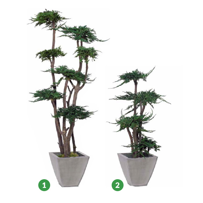 Juniperus PRINCE OF WALES  (tree)