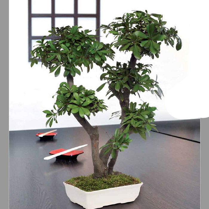 Tobira Bonsai
